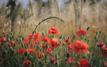 цветы, поле, лепестки, красные, маки