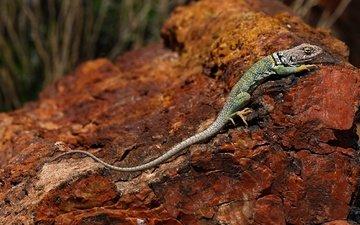 природа, ящерица, камень, сша, аризона, хвост, рептилия