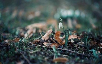 природа, цветок, весна, подснежник
