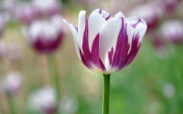 цветы, природа, бутоны, лепестки, весна, тюльпан
