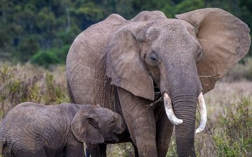 природа, слон, африка, слоны, слоненок