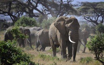 природа, слон, африка, слоны, стадо, бивни