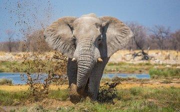природа, слон, уши, хобот, бивни