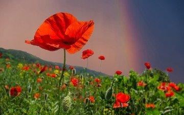 небо, цветы, поле, лето, радуга, красные, маки