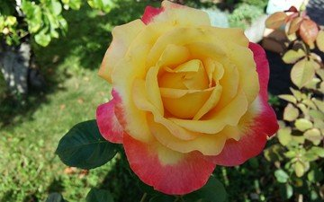 листья, цветок, роза, лепестки, сад