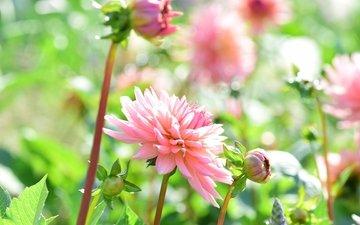 цветы, бутоны, лепестки, георгины