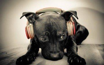 морда, музыка, собака, наушники, щенок