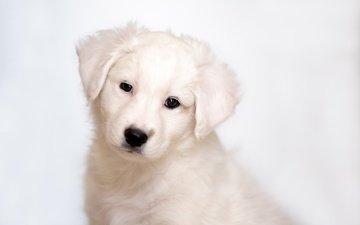 глаза, мордочка, взгляд, собака, щенок, золотистый ретривер