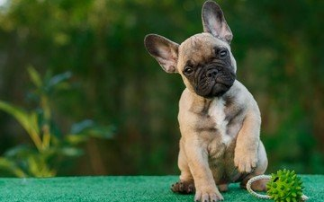 eyes, look, dog, puppy, the ball, french bulldog