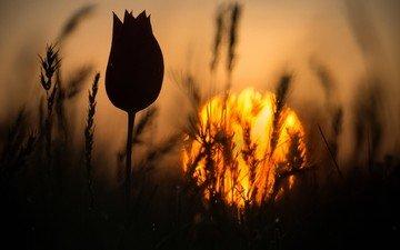 трава, закат, цветок, колоски, силуэт, тюльпан, стебель