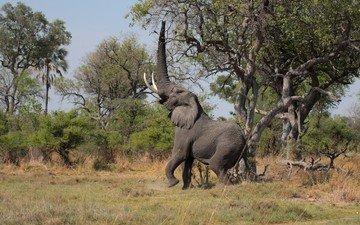 трава, деревья, слон, хобот, бивни