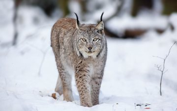 snow, forest, winter, lynx, predators