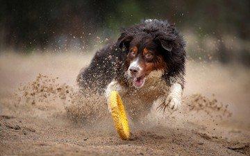 sand, dog, the game, happiness, running, australian shepherd, nadezhda ivanova