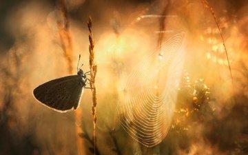 солнце, природа, растения, насекомое, фон, бабочка, паутина