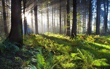 деревья, солнце, зелень, лес, папоротник, солнечные лучи