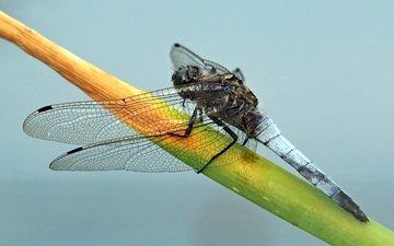 насекомое, стрекоза, растение