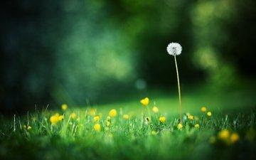 свет, цветы, трава, поля, одуванчик, блик, полевые цветы