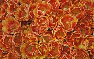 цветы, текстура, лепестки, тюльпаны, много, оранжевые