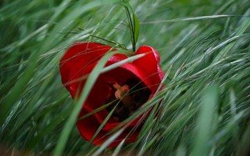 трава, макро, цветок, весна, тюльпан
