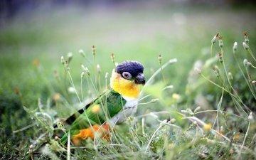 трава, природа, растения, фон, птица, попугай
