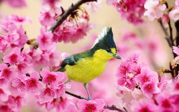 ветка, цветение, птица, весна, вишня, синица, хохлатая синица