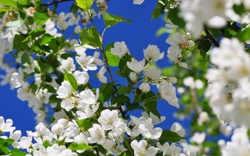 flowers, tree, flowering, branches, spring, cherry, apple