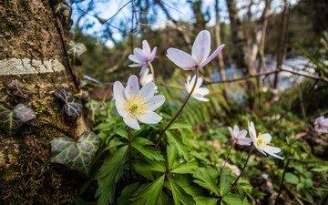 цветы, природа, дерево, лес, весна, анемона, анемоны, ветреница, плющ.