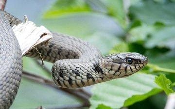 глаза, листья, змея, голова, рептилия, пресмыкающееся