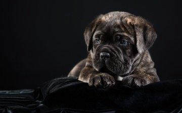 dog, puppy, black background, cane corso