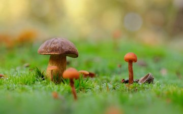 nature, macro, background, mushrooms, moss