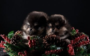 new year, black background, puppies, bumps, dogs, spitz