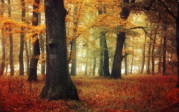 деревья, природа, лес, листья, осень