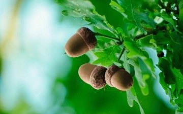 nature, leaves, macro, background, branches, oak, acorns