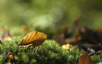 leaves, macro, autumn, sheet, moss