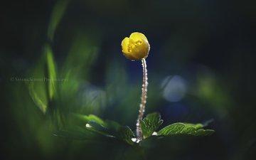 природа, желтый, макро, фон, цветок