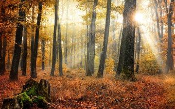 деревья, солнце, природа, лес, листья, осень