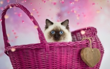 background, petals, heart, cat, kitty, face, basket, siamese, blue-eyed, ragdoll, burma, g ragdoll