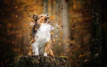 leaves, autumn, dog, sheltie, shetland sheepdog
