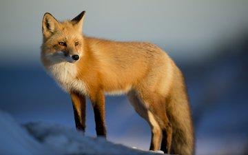 снег, зима, лиса, лисица, животное, лиса.лисица