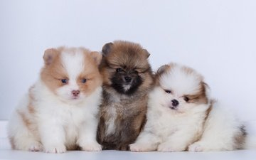puppies, dogs, spitz