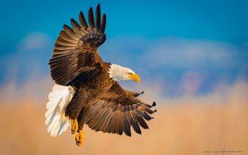 полет, крылья, орел, птица, белоголовый орлан