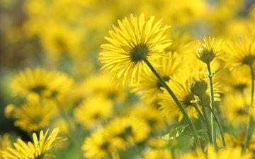цветы, лепестки, ромашки, стебли, желтые