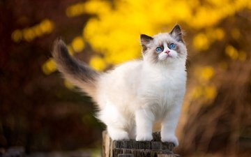 nature, background, cat, kitty, fluffy, post, bokeh, ragdoll