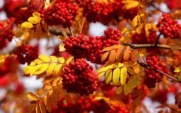 leaves, macro, autumn, berries, rowan, bunches