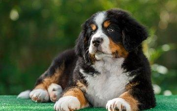 dog, puppy, bernese mountain dog