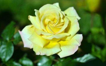 листья, цветок, роза, лепестки