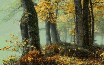 деревья, природа, лес, листья, туман, осень