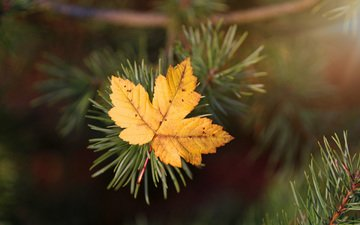 needles, macro, autumn, sheet, spruce