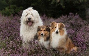 flowers, dogs, heather, sheltie, bobtail, the shetland sheepdog