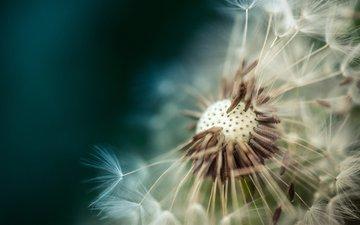 макро, цветок, одуванчик, пушинки